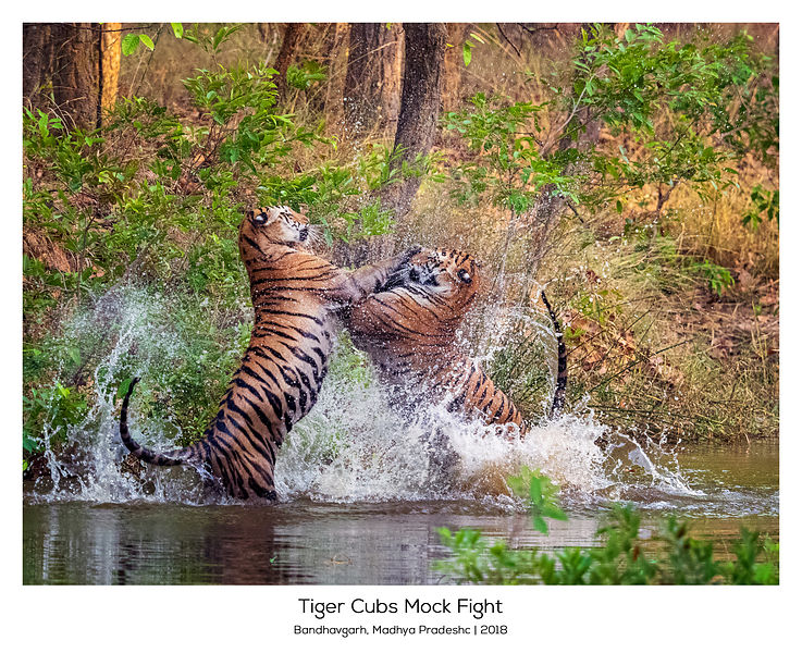 Tiger Cubs Mock Fight, India