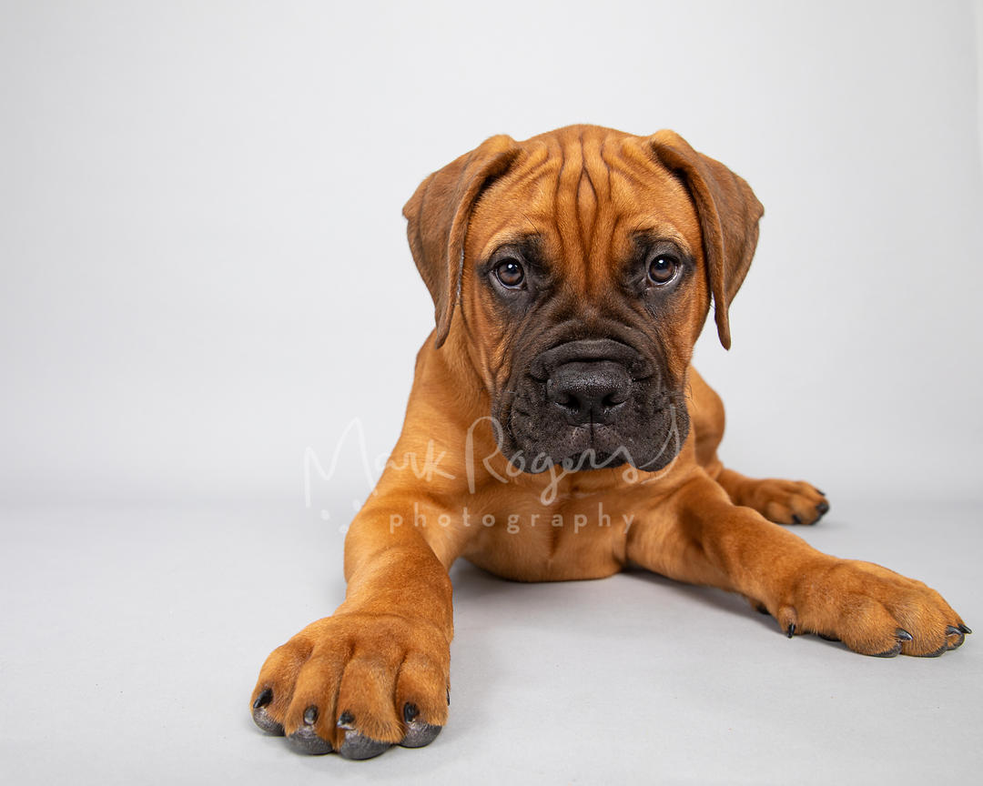Red Mastiff Puppy Lying Down Against Gray Background