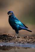 Cape glossy starling, Lamprotornis nitens, Zimanga Game Reserve, South Africa