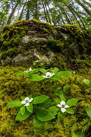 Western Bunchberry in Olympic National Forest