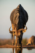 Blue wildebeest, Connochaetes taurinus, Welgevonden Game Reserve, South Africa