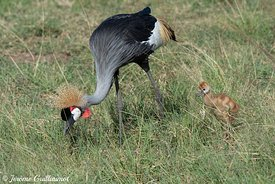 Grey crowned crane  (Balearica regulorum), Masai Mara, Kenya