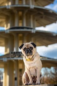 Pug in Front of Japantown Pagoda in SF