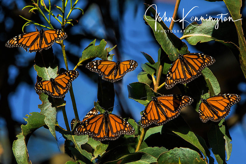 Wintering Monarch Butterflies, Santa Cruz, California