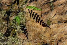 Licorice Fern in Silver Falls State Park