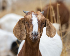 Close-up of Goat with Eyes Closed