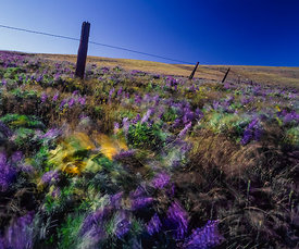 Colorful Wildflowers in the Wind in Columbia River Gorge