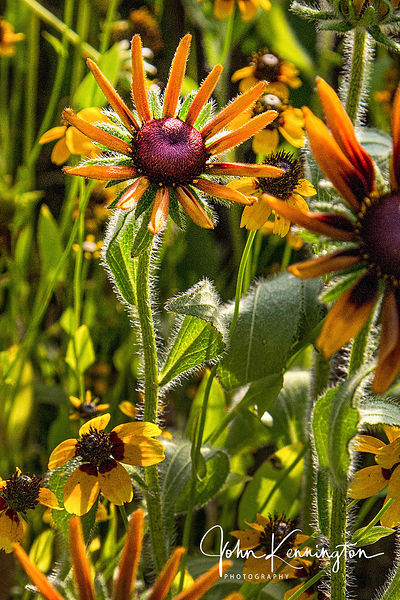 Rudbeckias and Coreopsis, Betonville, Arkansas