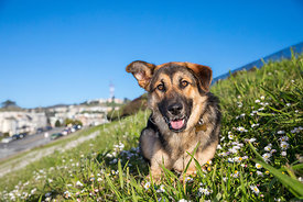 Smiling Shepherd Mix Puppy on Grassy Hill