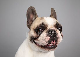 Smiling French Bulldog Studio Portrait on Gray Blackground