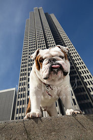 Bulldog With Tongue Out Beneath Tall Building in SF