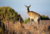 Klipspringer, Oreotragus oreotragus, Marakele National Park, Waterberg, South Africa