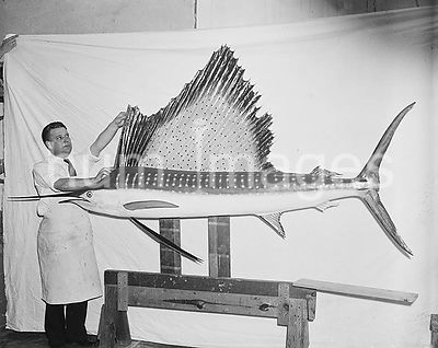 Man with large fish, measuring its fin ca. 1936