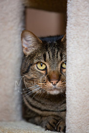 Close-up Tabby Cat Peeking from Cat Tree