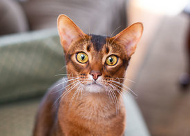Close-up of Amber Red Abyssinian Cat