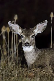 Mule Deer at Night in Oregon