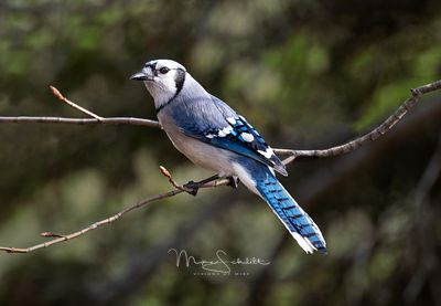 Blue_Jay_clean_3_crop_sharp_blur_2_color_2_burn_color_back_L1010170