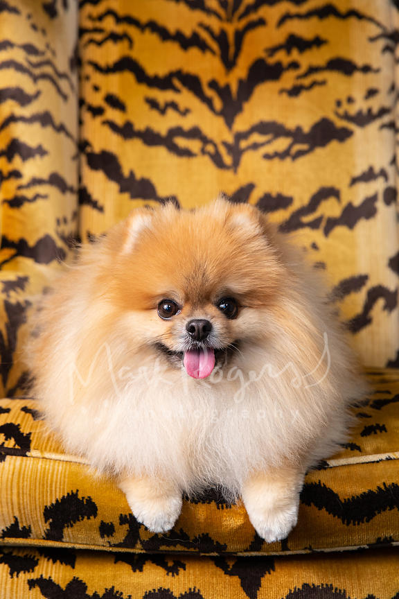 Close-up of Pomeranian Dog in Striped Orange Chair