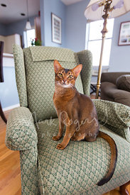 Scowling Abyssinian Cat Sitting in Armchair