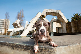 Pit Bull  Lying Near Vaillancourt Fountain in SF's Embarcadero Plaza