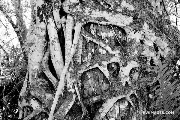 STRANGLER FIG BIG CYPRESS BEND FAKAHATCHEE STRAND PRESERVE STATE PARK EVERGLADES FLORIDA BLACK AND WHITE