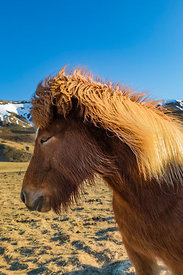 Icelandic Horses along the South Coast of Iceland