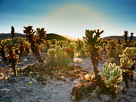 Sunset at the Cholla Garden