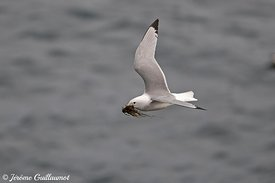 Black-legged Kittiwake (Rissa tridactyla), Norway and Finland