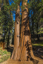 Giant Sequoia at the Giant Forest Museum in Sequoia National Park