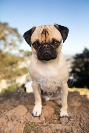 Tan Pug Sitting on Rocky Ground