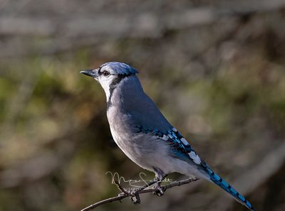 Bluejay_clean_crop_branch_twk_SHADOW_SHARP_L1010030