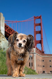 Small brown Dog at Fort Point and Golden Gate Bridge