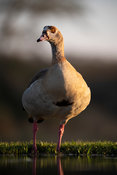 Egyptian goose, Alopochen aegyptiaca, Zimanga Game Reserve, South Africa