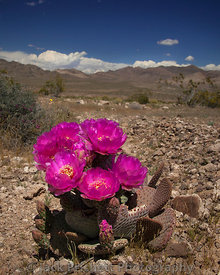 _MG_7756_Opuntia_in_bloom_16x20