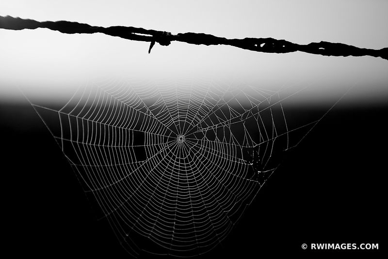 BARBED WIRE AND SPIDER WEB WITH DEW CENTRAL ILLINOIS PRAIRIE SUMMER MORNING BLACK AND WHITE