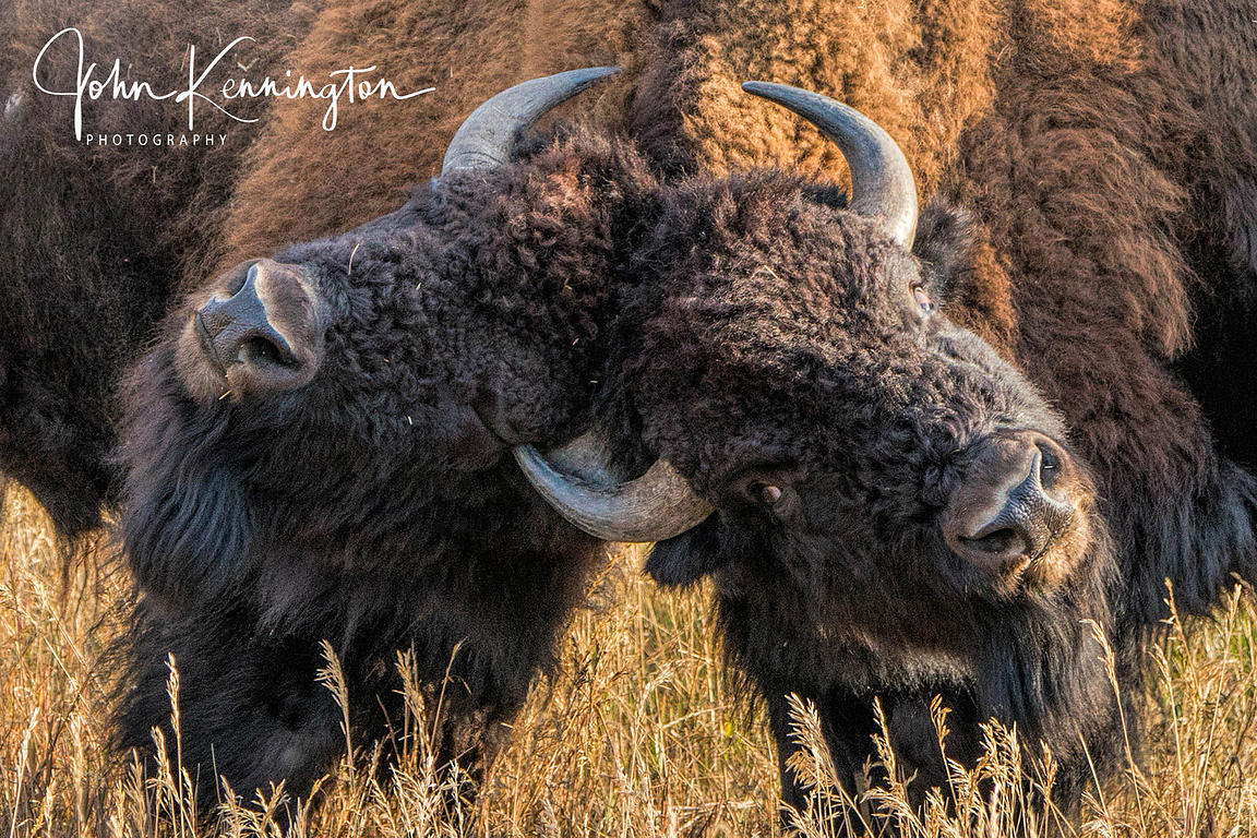 Bison Dispute, Grand Teton National Park, Wyoming