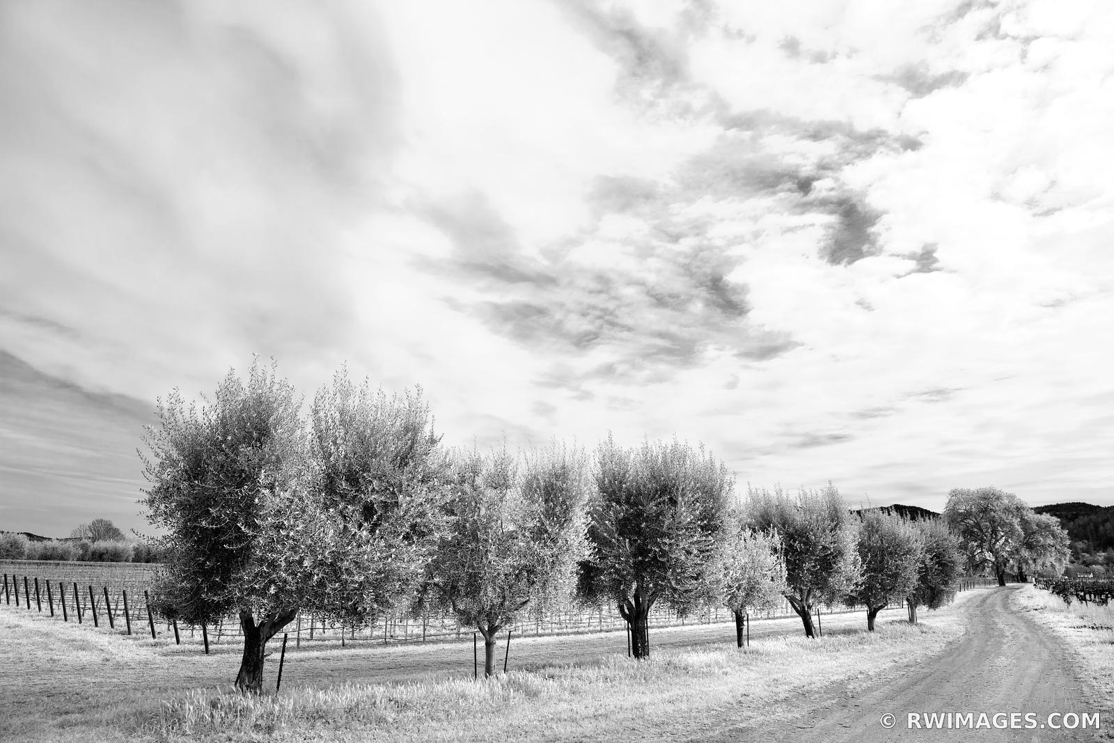 OAK TREES VINEYARD AND A COUNTRY ROAD NAPA VALLEY BLACK AND WHITE