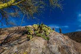 Prickly Pear in Saguaro National Park