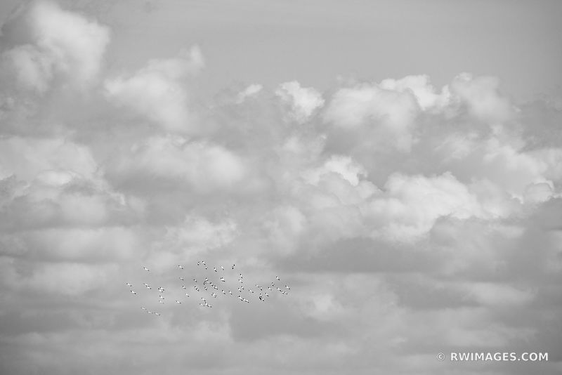 PELICANS IN FLIGHT TEN THOUSAND ISLANDS EVERGLADES NATIONAL PARK FLORIDA BLACK AND WHITE