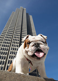 Smiling Bulldog Looking Down with Tall Building in Background