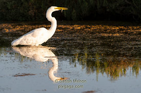 Great Egret with prey, Don Edwards San Francisco Bay Wildlife Refuge, Alviso, CA, USA