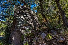 Oak Trees in the Chiricahua Mountains