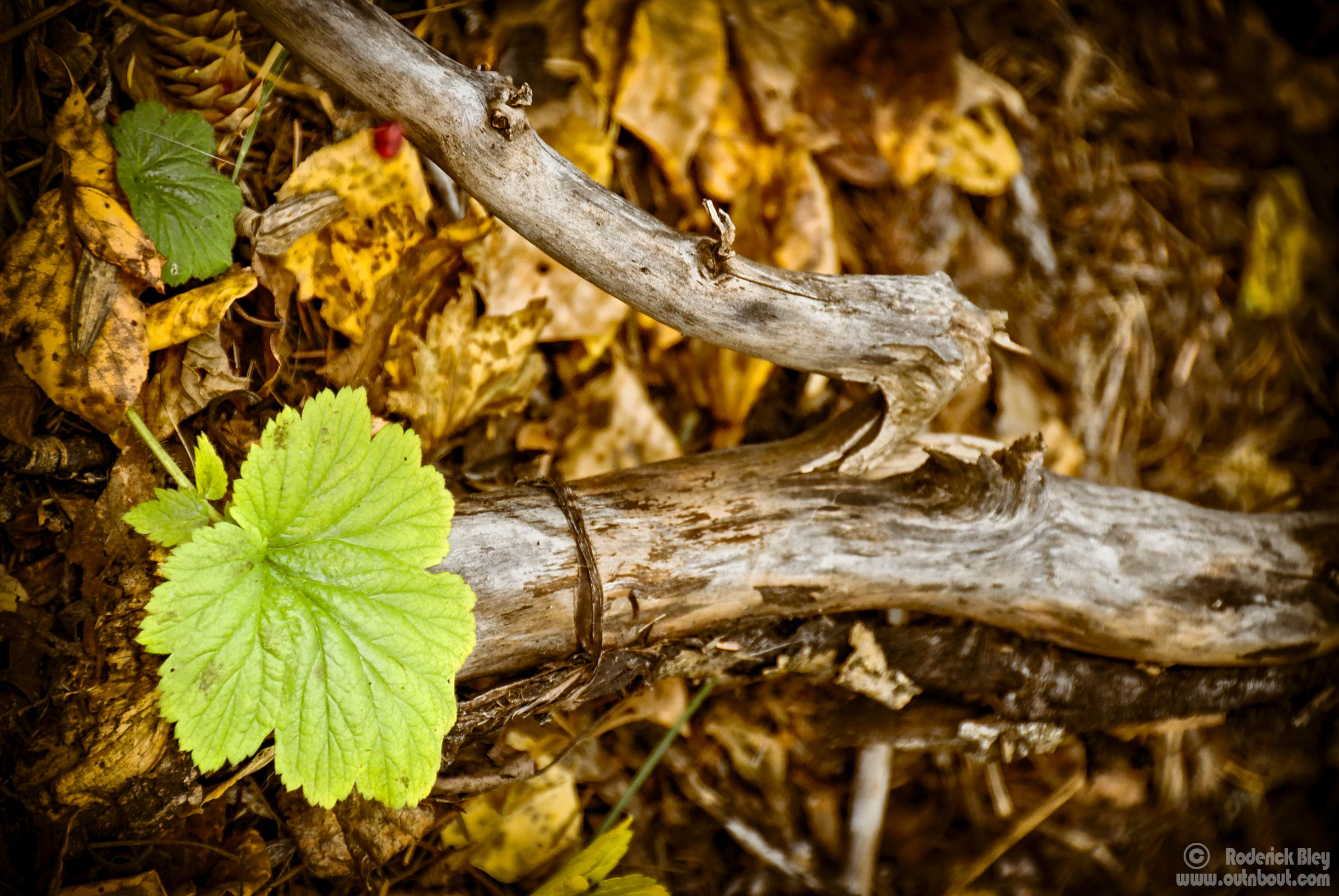 Green Leave in Midst of Fall Decay