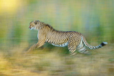 Cheetah Acceleration