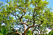 Live Oak, Lady Bird Johnson Wildflower Center, Austin, Texas
