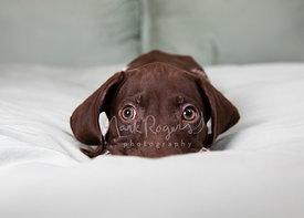 Close-up of Pointer Puppy Staring while lying down