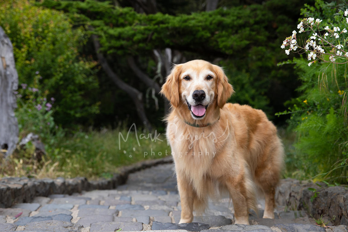 Smiling Senior Golden Retriever on Steps near Trees