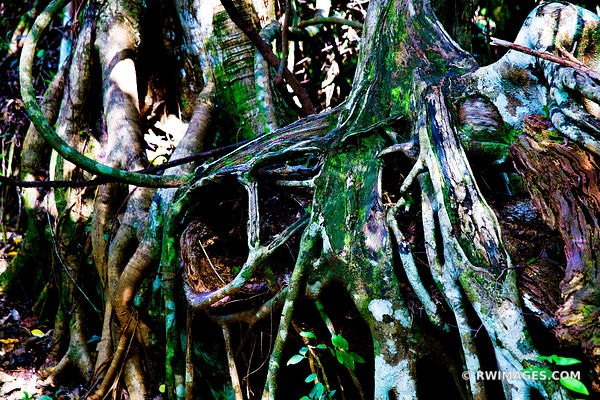 TREE ROOTS NATURE ABSTRACT GUMBO LIMBO TRAIL EVERGLADES FLORIDA COLOR