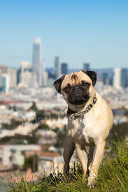Pug Standing on San Francisco Hill
