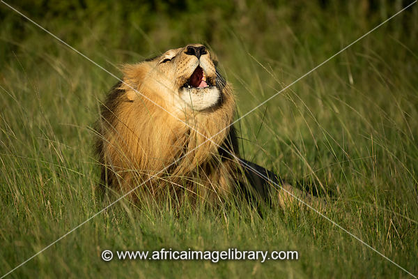 Male lion roaring, Panthero leo, Sibuya Game Reserve, South Africa